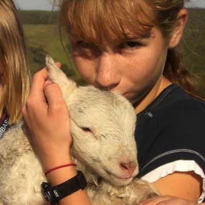 Lambs on the farm